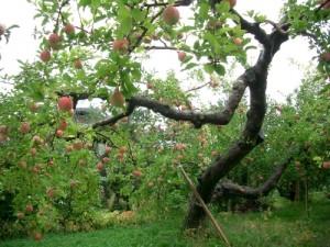 どの樹にも美味しそうな実がたくさん!
